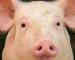 Lean Hogs: calendar spread sui suini