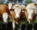 Feeder Cattle: Inter-Market Spread con il Live Cattle