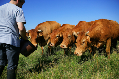 live cattle