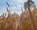 Grano: nuove opportunità dall'USDA