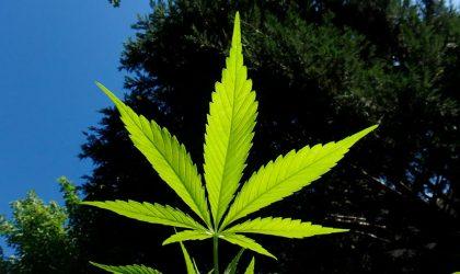 Marijuana da sballo sui mercati