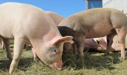 Peste suina (PSA): Lean Hogs e futuro dei mercati
