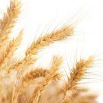 Grano - come investire nelle commodity agricole