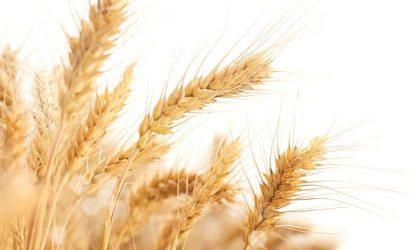 Grano: investire nelle commodity agricole